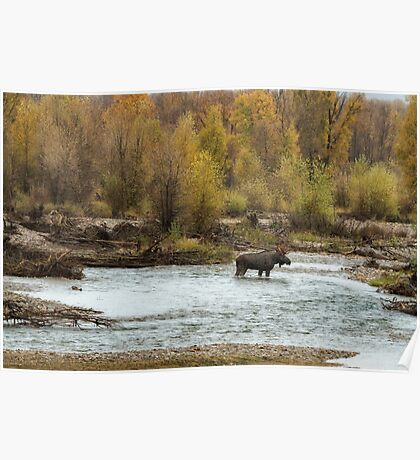 Moose in Mid-Stream Poster
