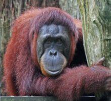 Bornean Orangutan Sticker