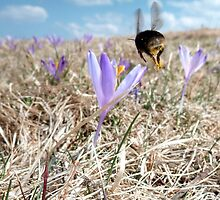 Bumble-bee above saffron meadow by Kokosnik