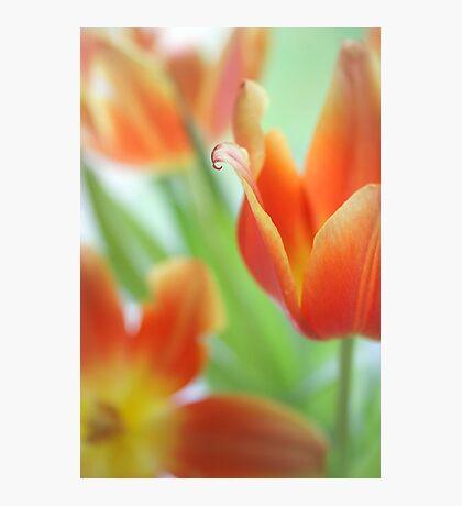 Fresh Tulips Photographic Print