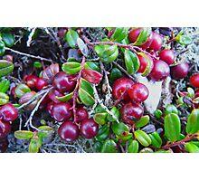 Wild Moss Cranberries Photographic Print