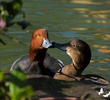 Kissing Ducks by TJ Baccari Photography