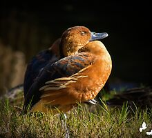 Sleeping Duck by TJ Baccari Photography