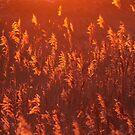 Phragmites in Golden Hour by Jo Nijenhuis