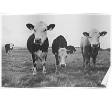 Four cows in a field  Poster