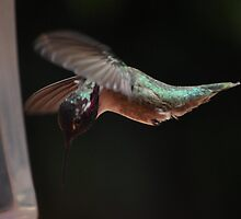MALE HUMMINGBIRD COSTA'S IN FLIGHT #1 by JAYMILO