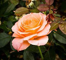 Solitary rose by Thad Zajdowicz