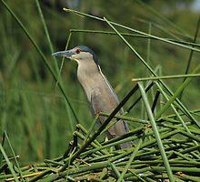 Striated Heron and Aquatic Plants by rhamm
