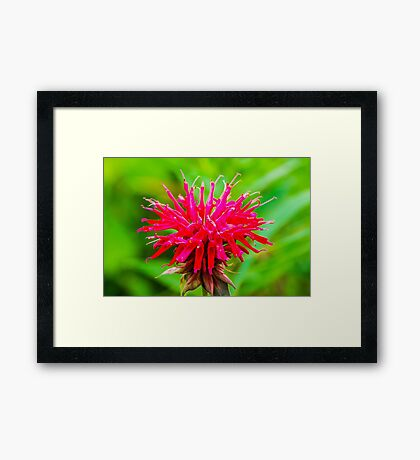 Bee Balm - Red Framed Print