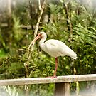 White Ibis by Mary Carol Story