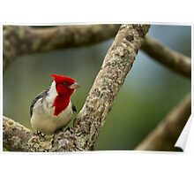 Red Crested Cardinal Poster