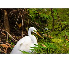 Great Blue Heron - White Photographic Print