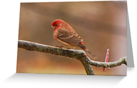 House Finch by Mary Carol Story