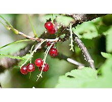 Guelder rose (Viburnum opulus) in fruit. Photographed in Tirol, Austria  Photographic Print