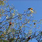 Flock of Rosellas in tree by Camelot