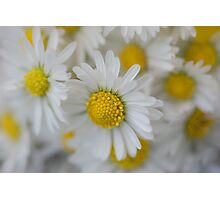 White Field Daisies Photographic Print