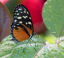 Butterfly and Wet Leaf by William C. Gladish