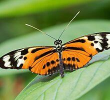Orange Butterfly by William C. Gladish