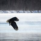 American Bald Eagle With A Fish 2016-1 by Thomas Young
