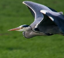 great blue heron by Claes  Touber