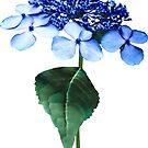 Delicate Blue Lacecap Hydrangea by Susan Savad