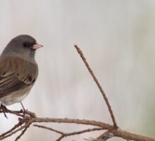 Dark eyed Junco songbird Sticker