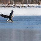The Great American Bald Eagle 2016-1 by Thomas Young