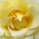 Yellow rose by shalisa