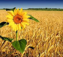 Sun Flower by smithjay