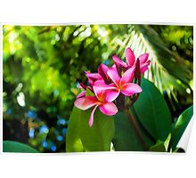 Tropical Impressions - Vivid Pink Plumeria Blossoms Poster