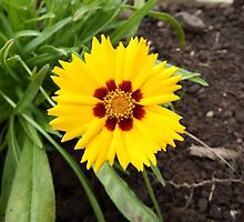 Coreopsis by Deb Vincent