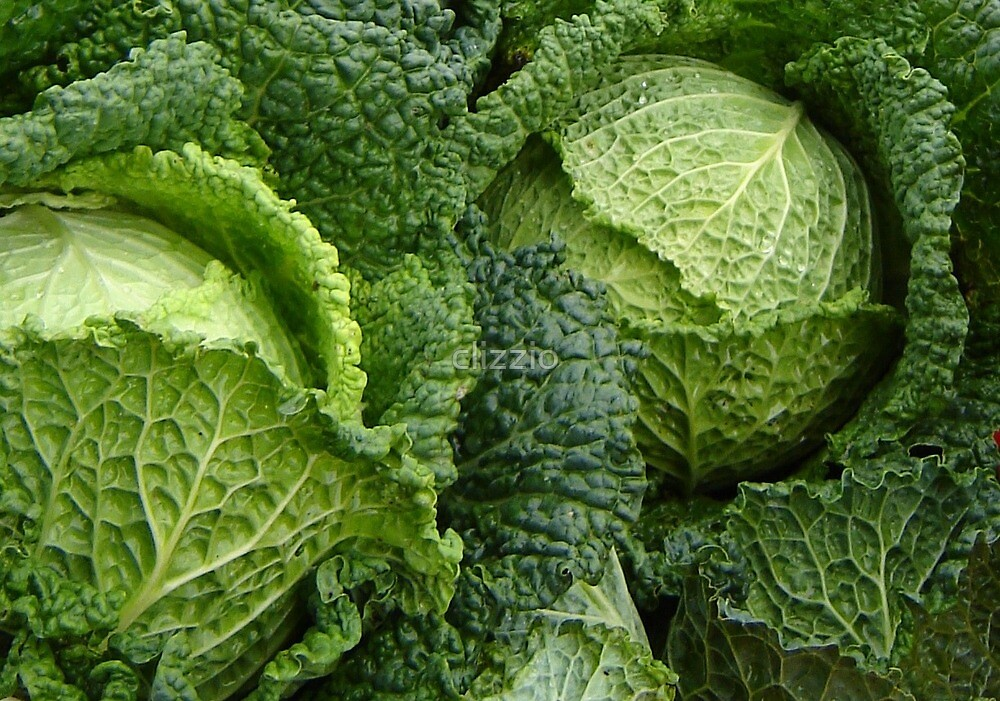 Cabbage Fresh From the Field by clizzio