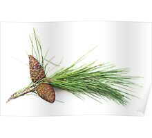 Branch of pine with the pinecones Poster