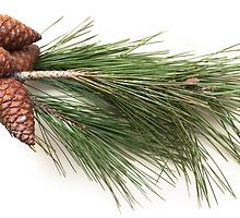 Branch of pine with the pinecones by igorsin