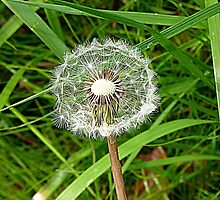 Dandelion clock. by Woodie