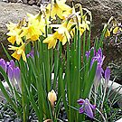 Daffs & Crocuses by Woodie