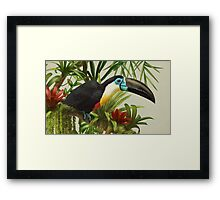 Channel-billed toucan Framed Print