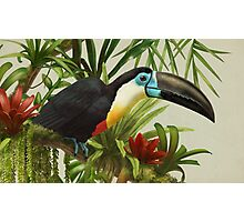 Channel-billed toucan Photographic Print