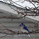 BLUE JAY OUTSIDE MY WINDOW by Pauline Evans