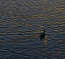 Lonely Duck Swimming at Lake at Sunset Time by DFLC Prints