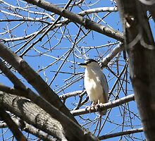 Black Crowned Night Heron by Gail Falcon