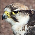 Peregrine  by weecritter