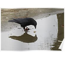 Crow Mirror Reflection  Poster