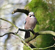 Jay by Deb Vincent