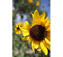 Waving Sunflower Photographic Print