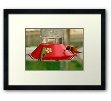 HummingBirds in BC, Canada Framed Print