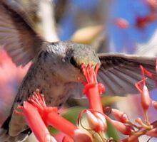 Hummingbird on Ocotillo Sticker