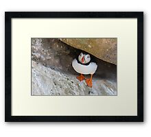 Puffin under a rock, Saltee Islands, County Wexford, Ireland Framed Print