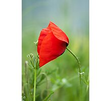 Wild red poppy Photographic Print