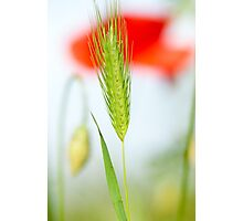 Grass and red poppy Photographic Print